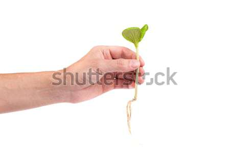 Male hand hold a small sprout and an earth handful Stock photo © bloodua