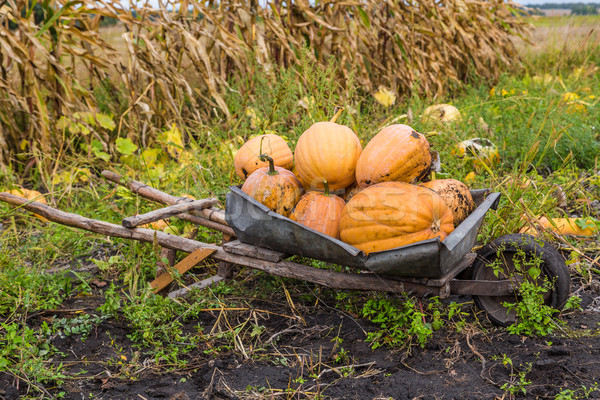 Pumpkins on a wheelbarrow. Stock photo © bloodua