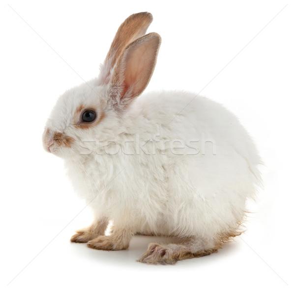 White small rabbit Stock photo © bloodua