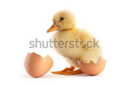 Yellow small duckling with egg on a white Stock photo © bloodua