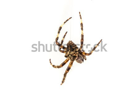 Spider Stock photo © bloodua