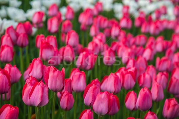 Multicolore fiore tulipano campo Holland bella Foto d'archivio © bloodua
