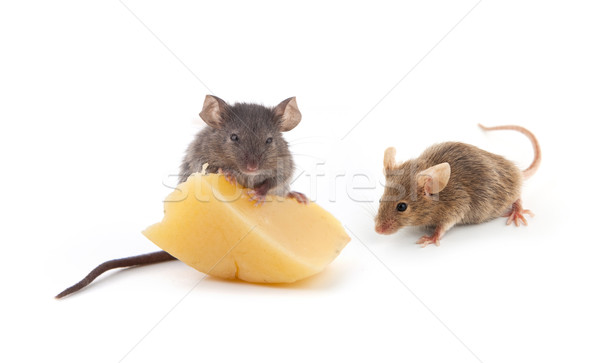 Mouse and cheese Stock photo © bloodua