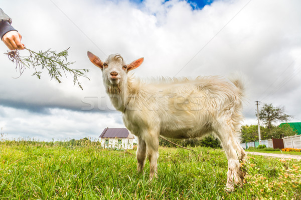 Portrait of a funny goat looking to a camera over blue sky backg Stock photo © bloodua