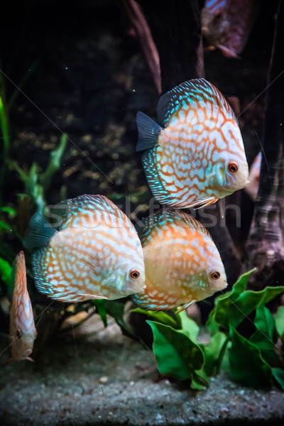 Aquarium with tropical fish of the Symphysodon discus spieces Stock photo © bloodua