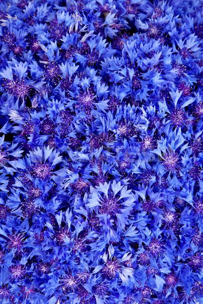Stock photo: Beautiful spring flowers blue cornflower on background