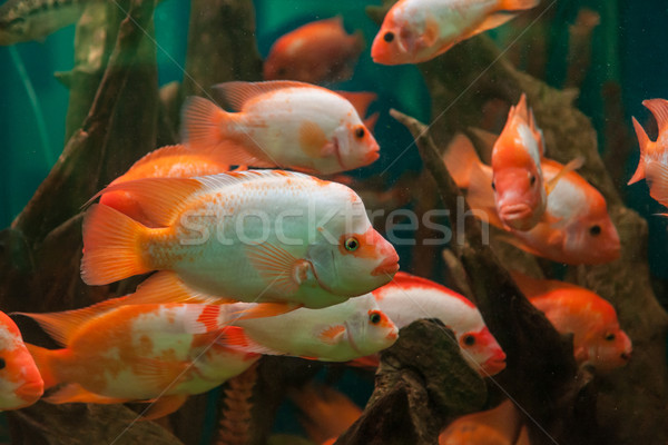 Tropicales de agua dulce acuario grande rojo peces Foto stock © bloodua