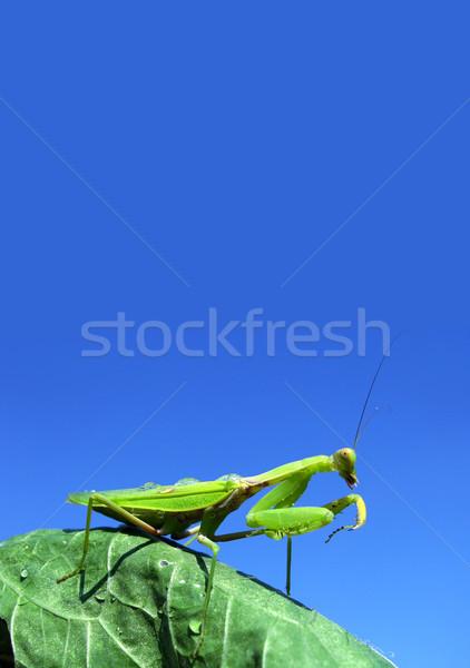 Green mantis Stock photo © bloodua