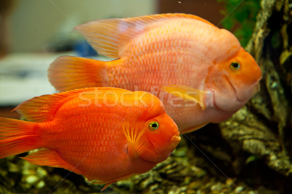 Tropical freshwater aquarium Stock fotó © bloodua
