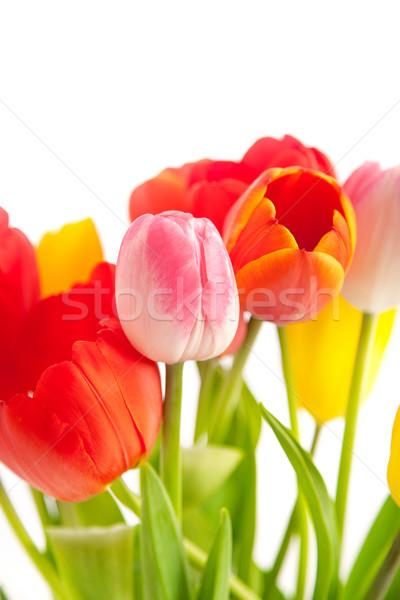 Foto stock: Tulipanes · aislado · blanco · fondo · naranja