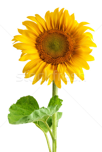 Stock photo: The beautiful sunflower
