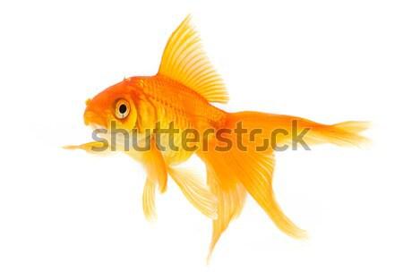 Foto stock: Peixe-dourado · ouro · peixe · isolado · branco · natureza
