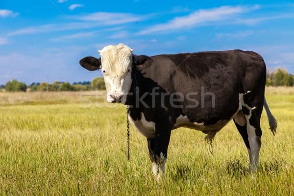 Koe groene paardebloem veld blauwe hemel hemel Stockfoto © bloodua