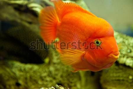 熱帯 淡水 水族館 ビッグ 赤 魚 ストックフォト © bloodua