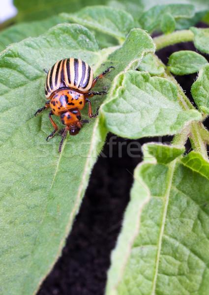 コロラド州 ジャガイモ カブトムシ 緑の葉 世界 葉 ストックフォト © bloodua
