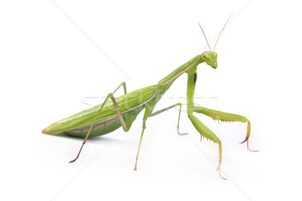 Mantis isolated on a white background Stock photo © bloodua