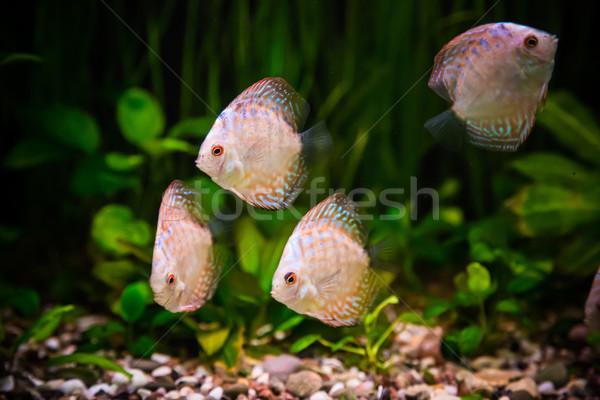 Stock fotó: édesvíz · akvárium · halfajok · zöld · gyönyörű · trópusi