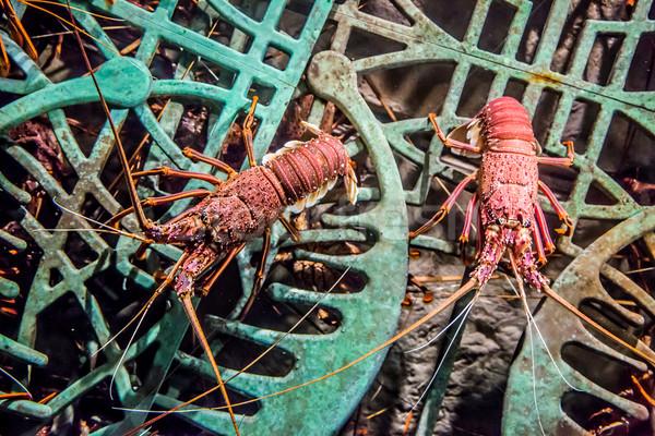Vivo lagosta aquário subaquático pormenor ver Foto stock © bloodua