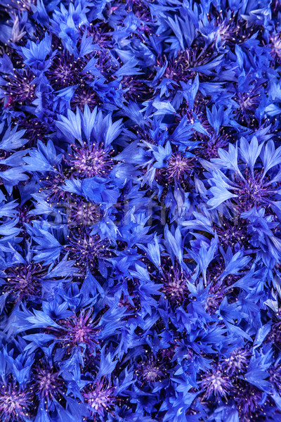 Beautiful spring flowers blue cornflower on background. Blue flo Stock photo © bloodua