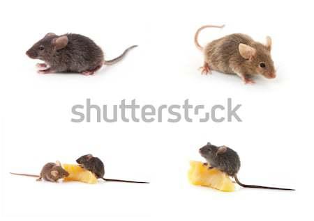 небольшой мыши изолированный белый волос фон Сток-фото © bloodua