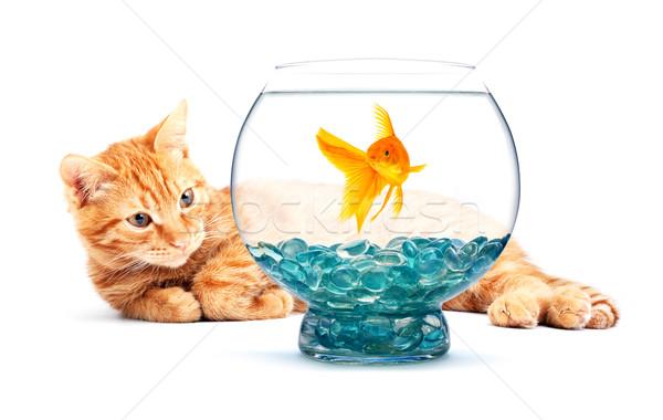 Goldfish cat giocare isolato bianco natura Foto d'archivio © bloodua