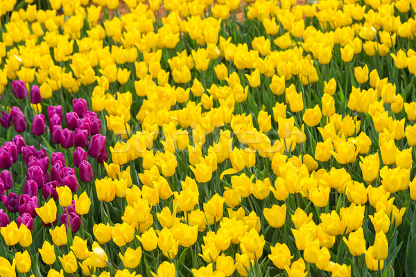Flor tulipán campo Holanda hermosa Foto stock © bloodua