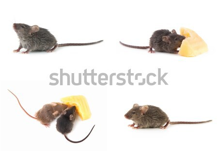 マウス チーズ 孤立した 白 背景 楽しい ストックフォト © bloodua