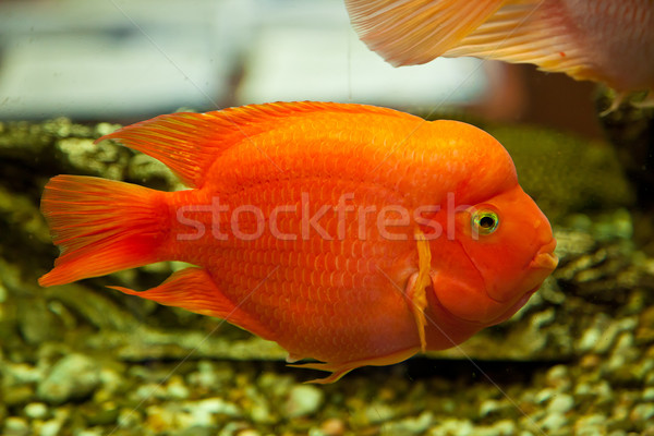 Tropical freshwater aquarium Stock photo © bloodua