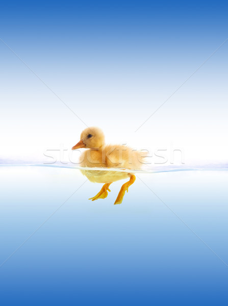 The yellow duckling swimming Stock photo © bloodua
