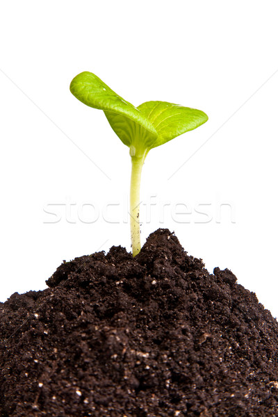 Heap dirt with a green plant sprout isolated Stock photo © bloodua