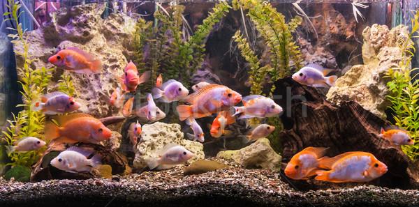 De agua dulce acuario verde hermosa tropicales Foto stock © bloodua