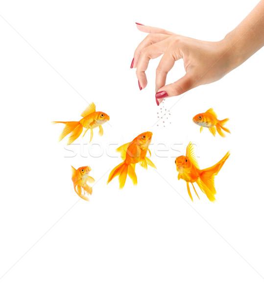 Woman feeding goldfishes Stock photo © bloodua