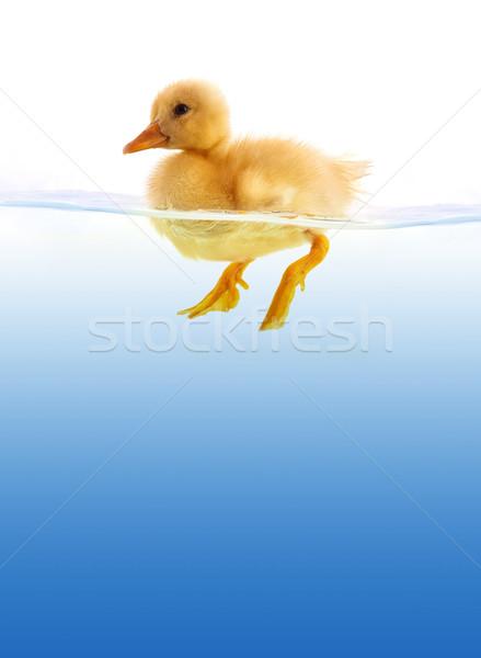 Geel eendje zwemmen geïsoleerd witte vogel Stockfoto © bloodua