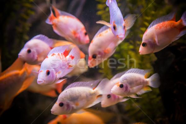 Eau douce aquarium vert belle tropicales Photo stock © bloodua