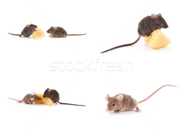 Ayarlamak fareler fare peynir beyaz yalıtılmış Stok fotoğraf © bloodua
