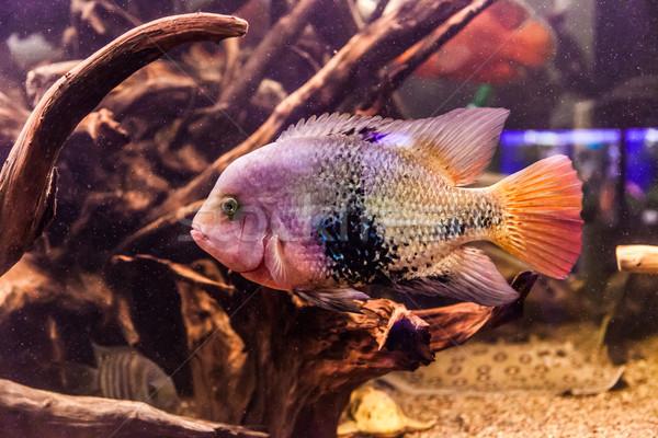 пресноводный аквариум рыбы зеленый красивой тропические Сток-фото © bloodua