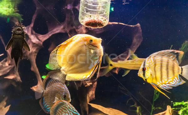 Aquarium with tropical fish of the Symphysodon discus spieces Stock photo © bloodua