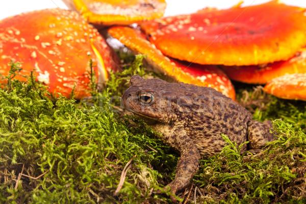 Toad is sitting on amanita Stock photo © bloodua