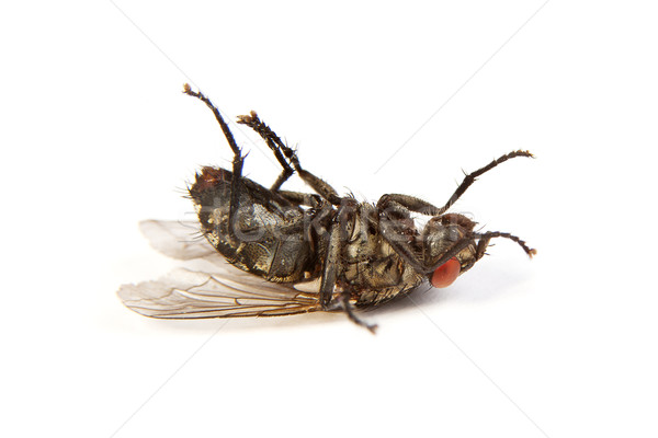 Fly isolated on white. Macro shot of a dead housefly Stock photo © bloodua