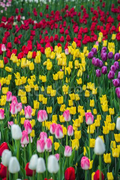 Veelkleurig bloem tulp veld holland mooie Stockfoto © bloodua