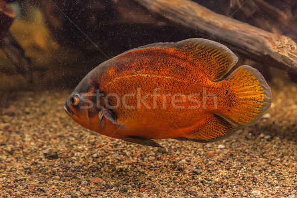 Shoal of piranha fishes in an aquarium Stock photo © bloodua