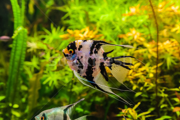 Freshwater aquarium with fish pterophyllum scalare Stock photo © bloodua