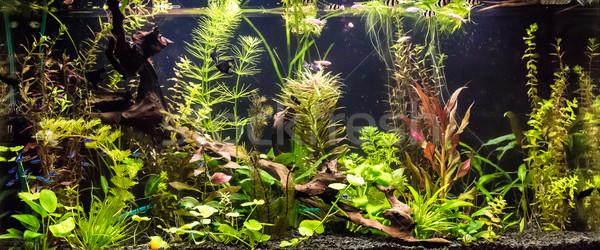 пресноводный аквариум зеленый красивой тропические Сток-фото © bloodua
