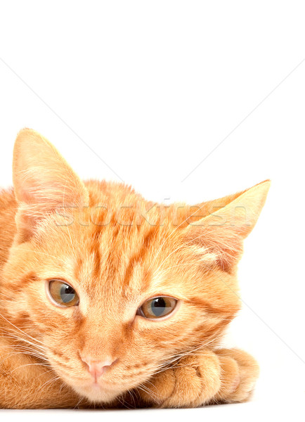 Cat Stock photo © bloodua