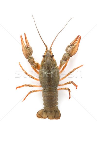 River raw crayfish  Stock photo © bloodua
