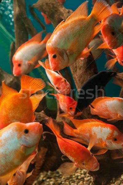 тропические пресноводный аквариум большой красный рыбы Сток-фото © bloodua