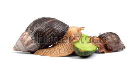 Snails Stock photo © bloodua