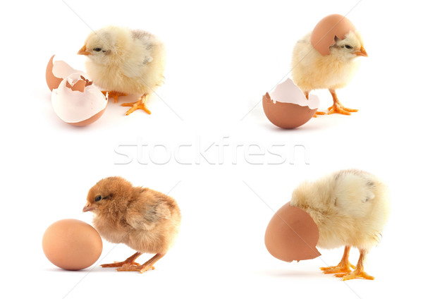 The set of yellow small chicks with egg Stock photo © bloodua
