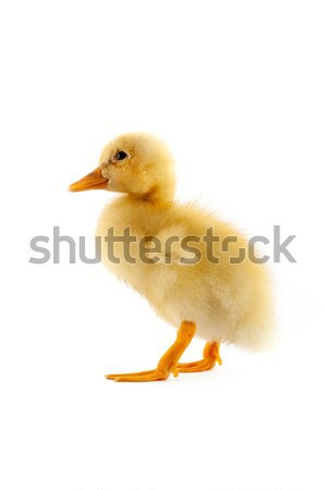 The yellow small duckling Stock photo © bloodua