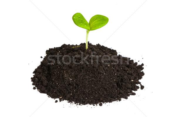 Hoop vuil groene plant spruit geïsoleerd Stockfoto © bloodua